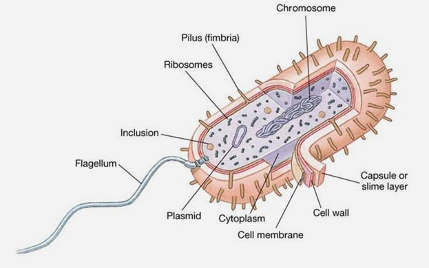Escherichia coli Description and Significance E coli was first discovered in 1885 by Theodor Escherich  some along with a circular plasmid